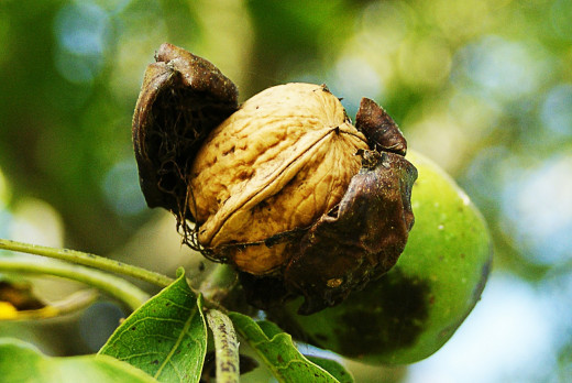 Walnuts are tree nuts.