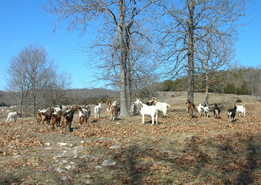 Spanish Goats on Pasture