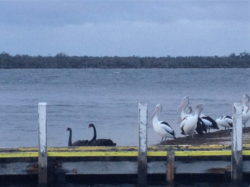 Black swans riding the waves (c) A Harrison