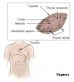 T cells are made in the red bone marrow but mature in the thymus gland.