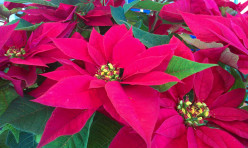 All About Poinsettias
