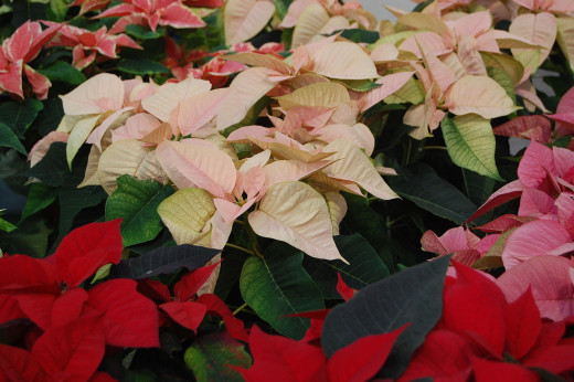 A variety of poinsettias for sale