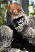 Interesting Facts on One of Our Closest Kin, The Gorilla