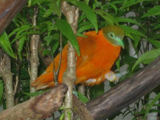 Orange Dove at Kula Eco Park