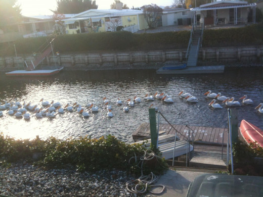 Pelicans fishing in the lagoons