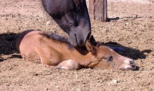 Mare and day old foal