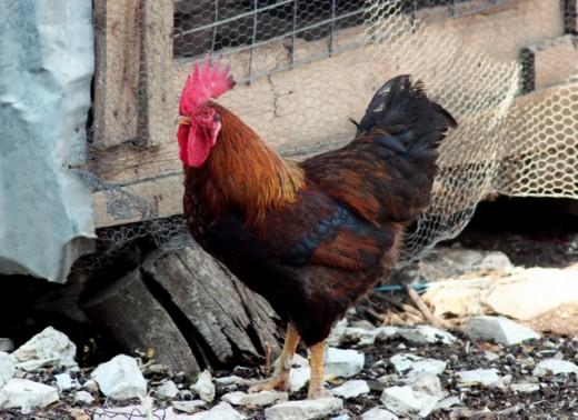 I raised backyard chickens like these.  I got fresh eggs every day.