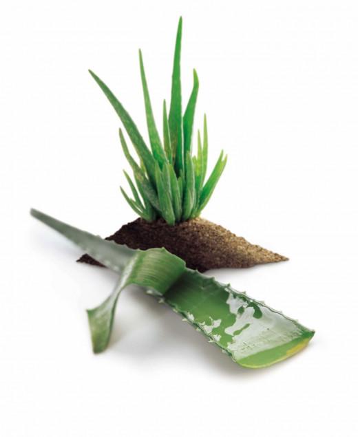 Aloe Vera Plant Gel  Benefits Oily Skin