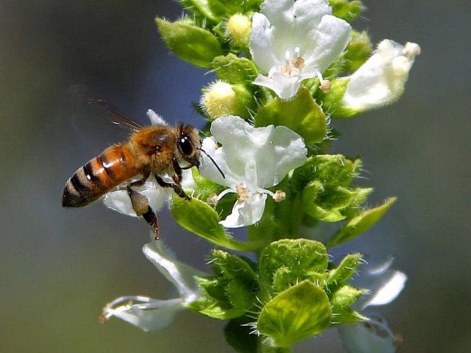 Basil is easy to grow and attracts bees and other pollinators.