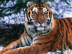 Endangered Species Profile: The South China Tiger.