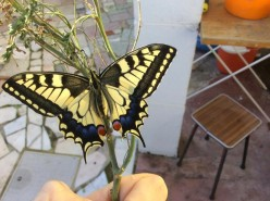 The Swallowtail Butterfly is rare in the UK and only found in Norfolk but is common in continental Europe