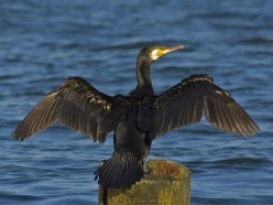 The European Cormorant { Birds of Europe}