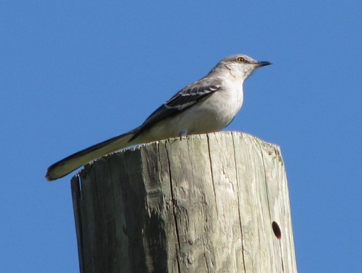 Mockingbirds have beautiful, complex songs.
