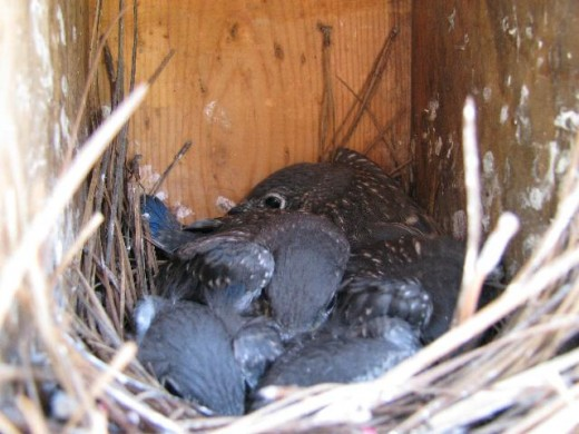 These young bluebirds will fledge in a few days.