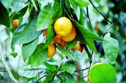 The Satsuma is a delicious type of Mandarin orange.