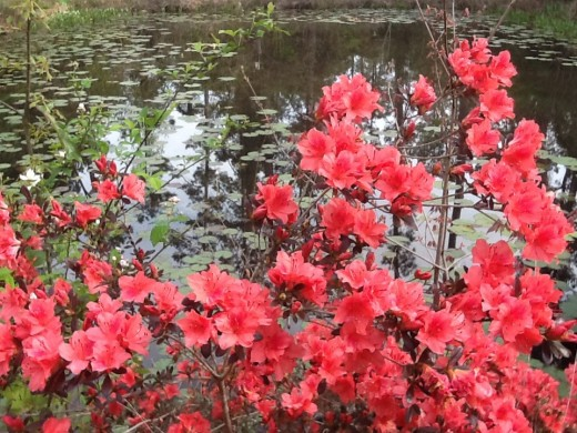 Fashion azaleas bloom in early spring and again in fall.