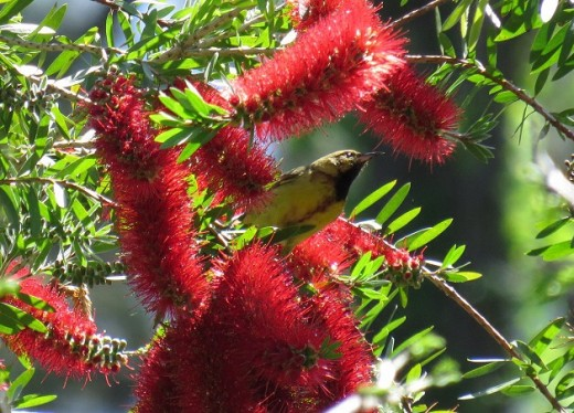 Colorful orioles sometimes stop by to drink nectar from the large bottlebrush tree on their way north.