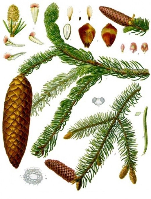 The Norway spruce (Picea abies), probablz the most popular species used as Christmas tree.