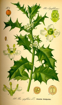 The common holly (Ilex aquifolium) was also one of the manny evergreen species worshiped by pagans.