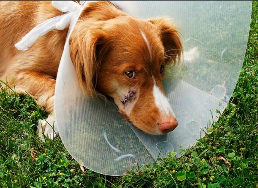 what happens if dogs stitches get infected