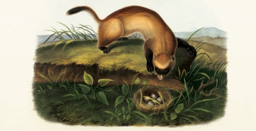 John J. Audubon's drawing of the black-footed ferret