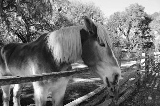 There are lots of horses at Middleton Place.