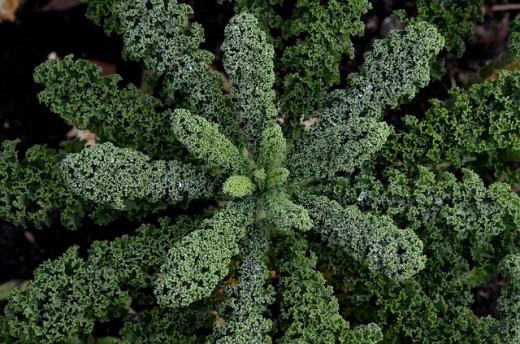Kale Plant.