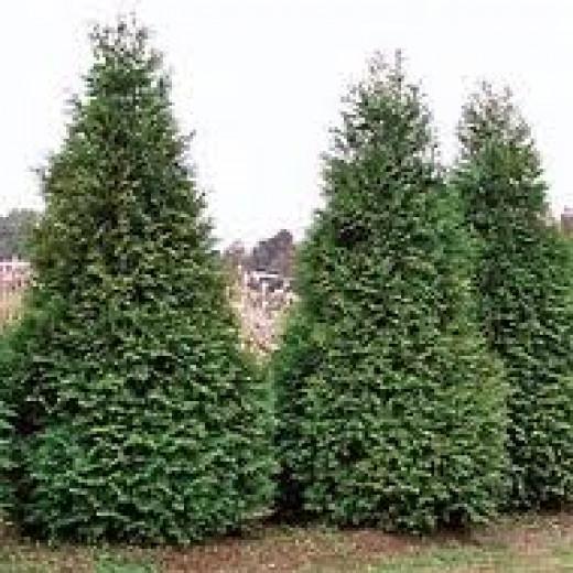 Giant Arborvitae Tree/Shrub