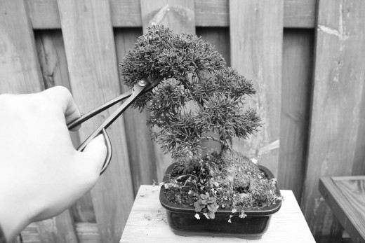 Sharp needle nose slim sheer made to access the deepest parts of a bonsai.
