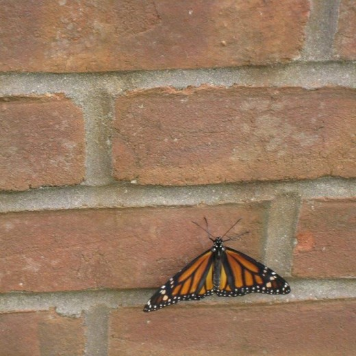 The Monarch is known to live anywhere from 6 to 10 months depending on migration and surrounding dangers.