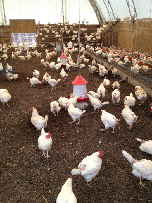 Free range chickens often have many health problems associated with high growth rates and cramped conditions