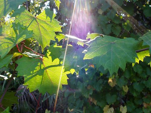 Wild grape vine by clbean via Flickr