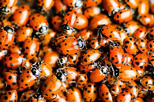 Ladybugs, by Thomas Hawk via Flickr