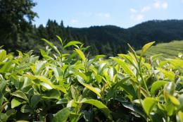 A green tea plantation