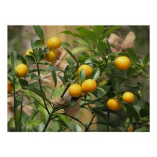 Round kumquats are sweeter and better tasting than the oblong ones.
