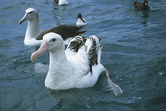 Young Albatross