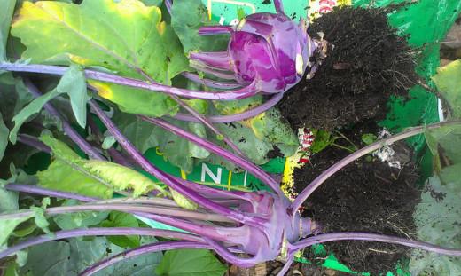 My Kohlrabi harvest.  Purple Vienna variety.