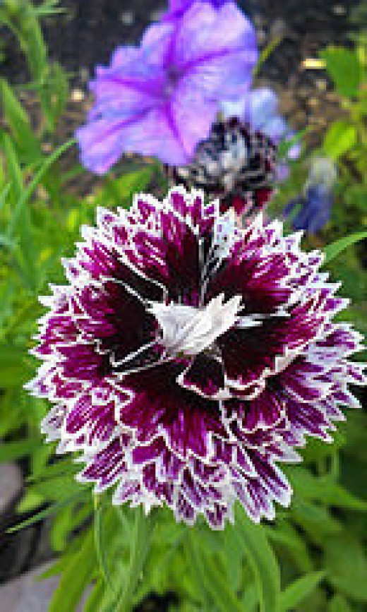 "Dianthus ""Black and White Minstrels"""