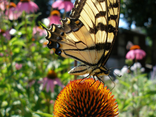 Giant yellow swallowtail on coneflower