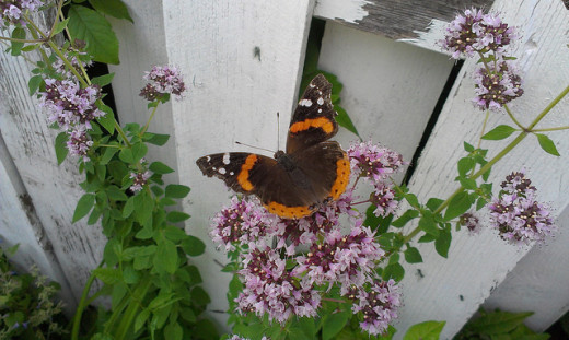 Red Admiral on Oregano blossom