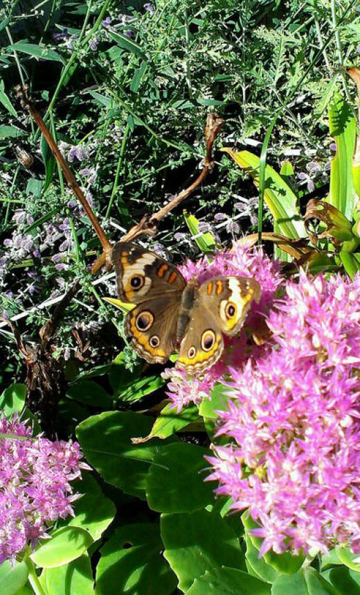 Common Buckeye on sedum bloom