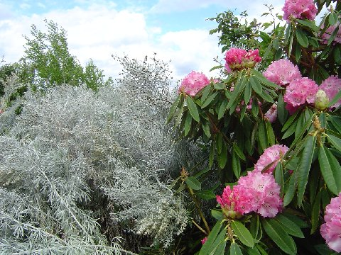Silver wormwood contrasted with Pink Rhododendron