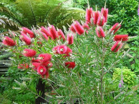 Australian Bottle Brush