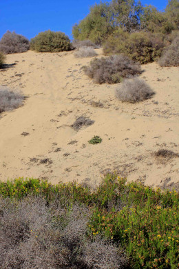 The further from the seashore one goes, the more the dune vegetation takes over