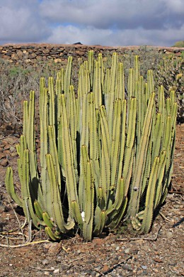 Euphorbia canariensis, a succulent endemic to the Canary Islands
