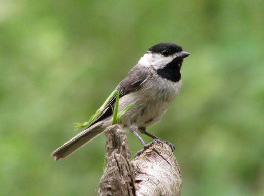 Angelic Carolina Chickadee after eating suet. This was a young bird.