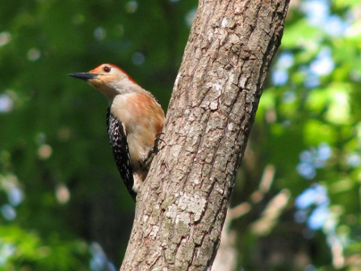 Male Red -bellied woodpecker with a really red belly. You can see where they get the name.