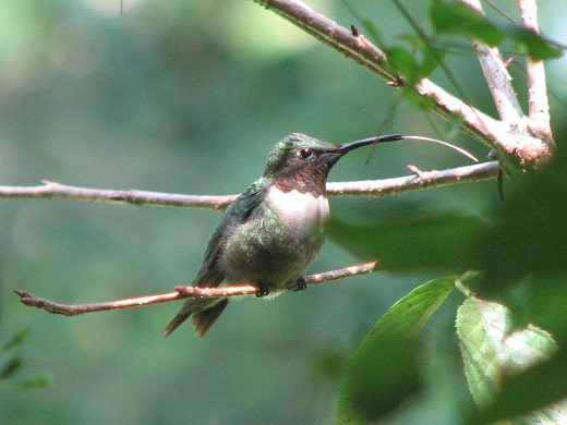 Male Ruby-Throated sending Hummer Kisses. He is actually licking his chops after a visit to the feeder.