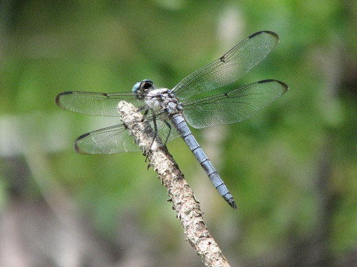 Blue Dragonfly rests after catching an insect.