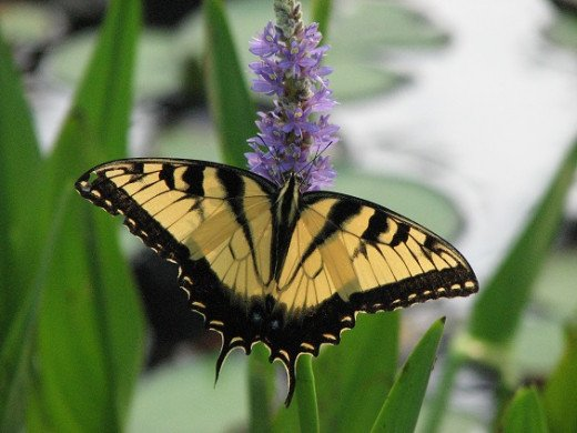 Tiger Swallowtail drinking nectar from native pickerel weed flowers by the pond.